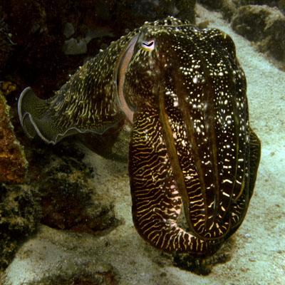Zeekat, cuttlefish - fascinerende dieren.