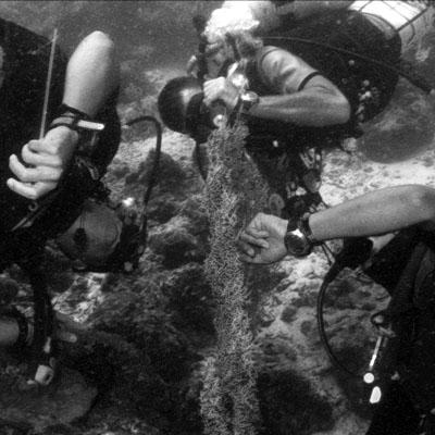 Zoeken naar de pygmy seahorse.