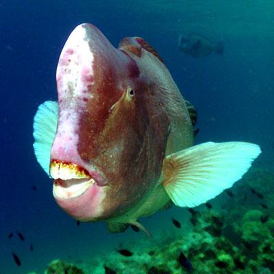 Bumphead parrotfish. Een koe van een beest, deze is ongeveer een meter lang. Ze grazen in kuddes het rif af.