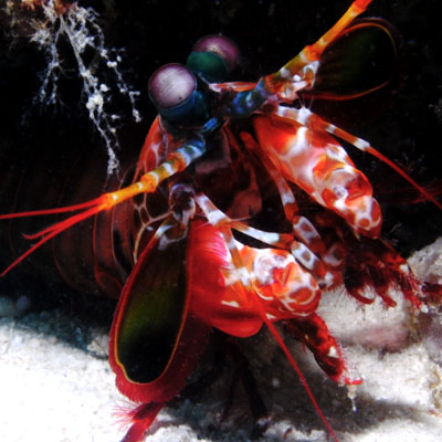 Peacock mantisshrimp. 'Wegwezen, anders word ik ècht boos!'